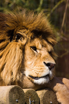 Lion, Smudge 9000 (cc) http://www.flickr.com/photos/smudge9000/457797855/