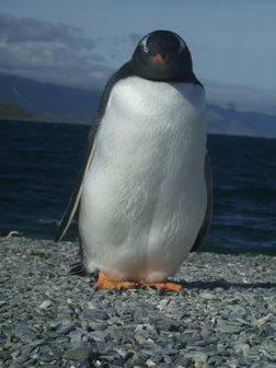 Pingouin de la Terre de Feu