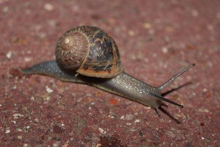 Escargot davronais